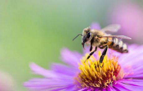 La pollinisation mécanique, une éventuelle solution pour pallier le déclin des abeilles