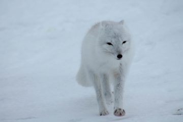 Une renarde polaire parcourt plus de 3.500 kms de banquise en 76 jours