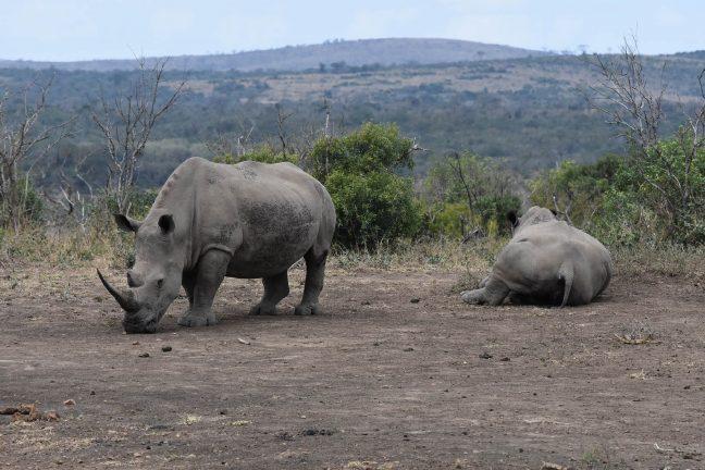 Une femelle rhinocéros blanc du Sud, espèce menacée, inséminée artificiellement