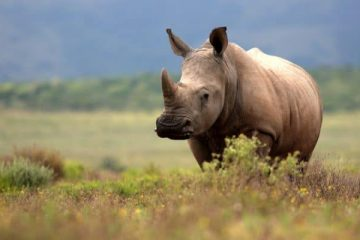 Les rhinocéros au Kenya font face à une nouvelle menace : des bactéries résistantes aux médicaments
