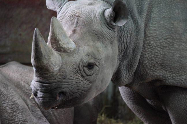 Les rhinocéros noirs de retour au Rwanda 10 ans après leur disparition