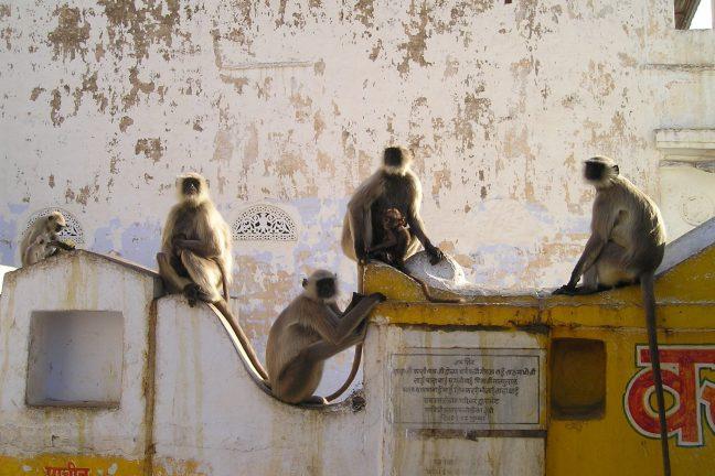 Les primates gravement menacés d'extiction