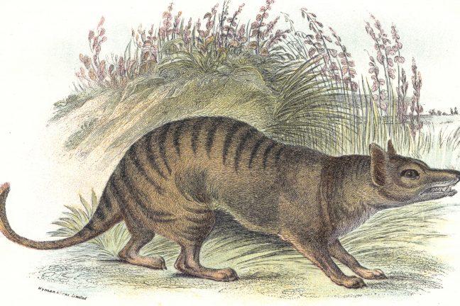 Le tigre de Tasmanie victime du réchauffement climatique?