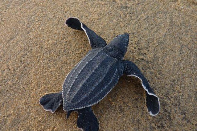 Le coronaviruspermet un «baby-boom» de tortues de mer en Thaïlande