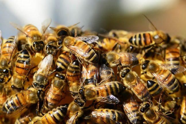 Mise au point du premier vaccin pour abeilles