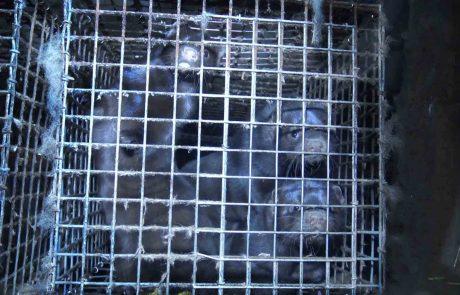 La Norvège va interdire les élevages d'animaux à fourrure